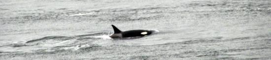 Killer Whale Victoria BC